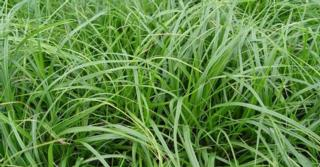 Carex oshimensis JS® 'Greenwell'