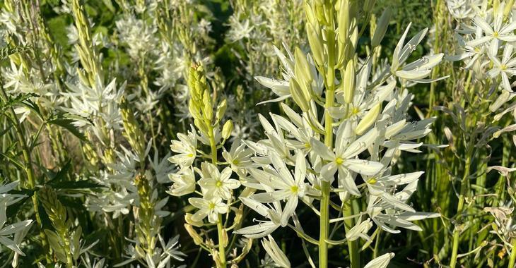Camassia leichtlinii ('Alba')