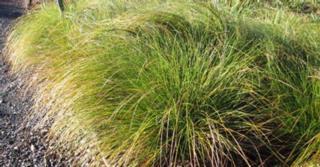 Carex testacea 'Lime Shine'