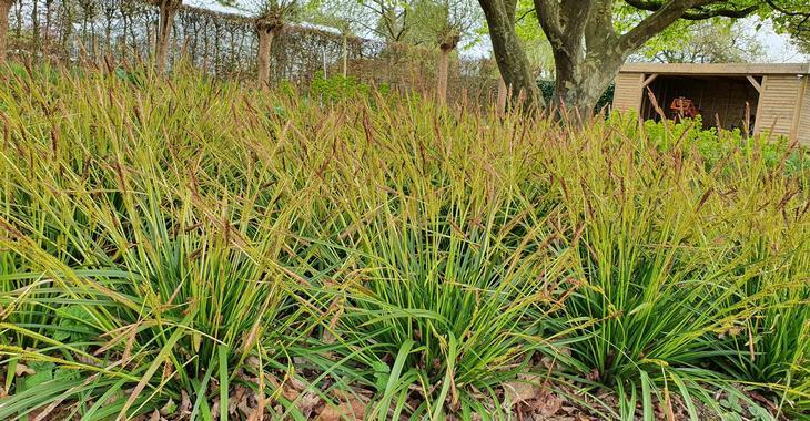 Carex morrowii JS® 'Mosten'