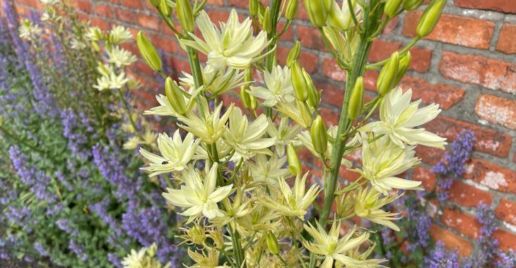 Camassia leichtlinii 'Semiplena' LOS
