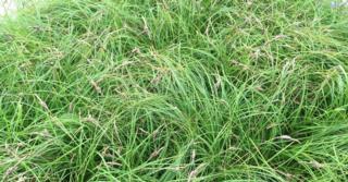 Carex caryophyllea 'The Beatles'