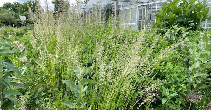 Calamagrostis acutiflora (x) 'Waldenbuch'