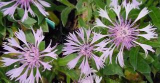 Centaurea montana 'Carnea' ('Rosea')