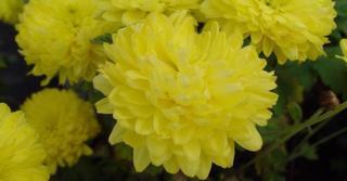 Chrysanthemum 'Citronella' (Indicum-Group)