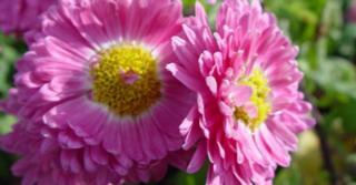 Chrysanthemum 'Corinna' (Indicum-Group)