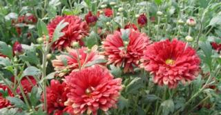 Chrysanthemum rubellum 'Duchess of Edinburgh'