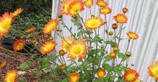 Chrysanthemum 'Dernier Soleil' (Indicum-Group)