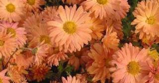 Chrysanthemum 'Kleiner Bernstein' (Indicum-Group)
