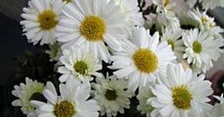 Chrysanthemum 'Poesie' (Indicum-Group)