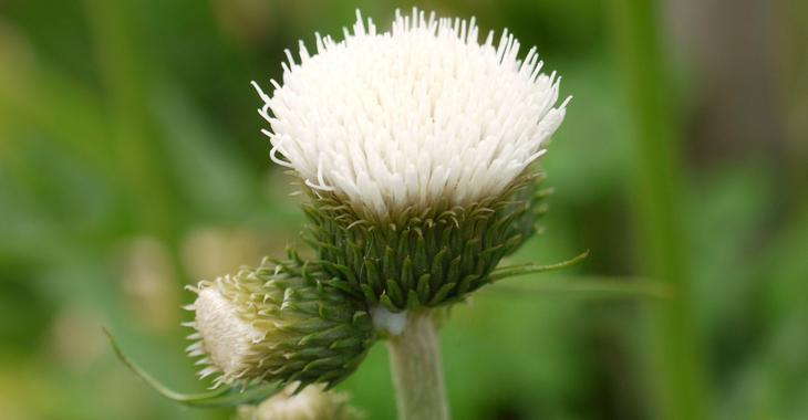 Cirsium rivulare 'Frosted Magic' PBR