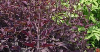 Clematis recta 'Purpurea'