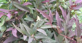 Clematis recta JS® 'Straight Purple'