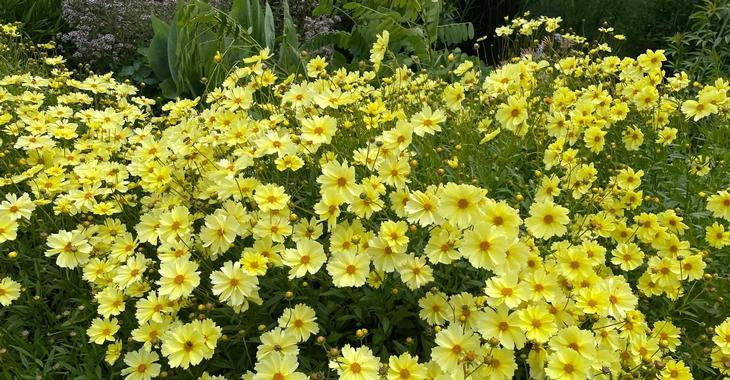 Coreopsis 'Full Moon' PBR