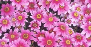 Coreopsis rosea 'Heaven's Gate' PBR