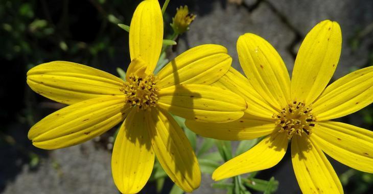 Coreopsis (x) 'Johannes'