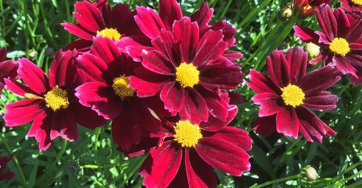 Coreopsis Li'l Bang® 'Red Elf' PBR
