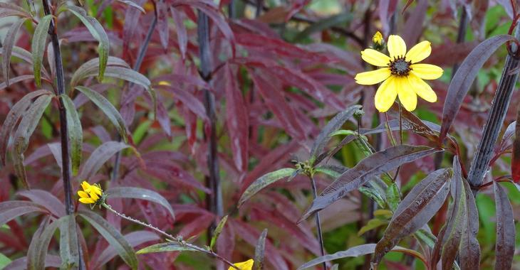 Coreopsis tripteris JS® 'Red November'