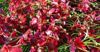 Coreopsis verticillata 'Ruby Red'