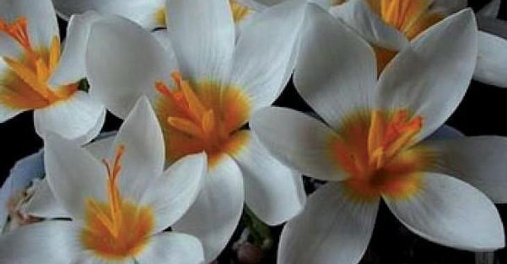 Crocus sieberi Bowles White' LOS