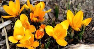 Crocus ancyrensis 'Golden Bunch'