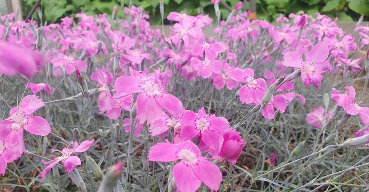 Dianthus gratianopolitanus 'Blauigel'