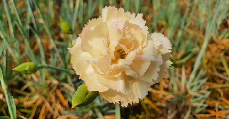 Dianthus 'Devon Cream' (Plumarius-Group)