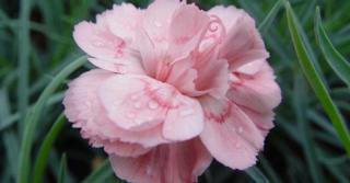Dianthus 'Doris' (Plumarius-Group)