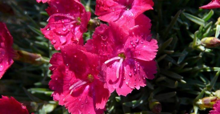 Dianthus gratianopolitanus 'Emmen'