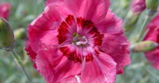 Dianthus gratianopolitanus 'Rotkäppchen'
