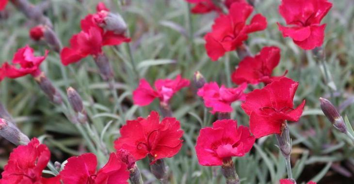 Dianthus gratianopolitanus 'Rubin'
