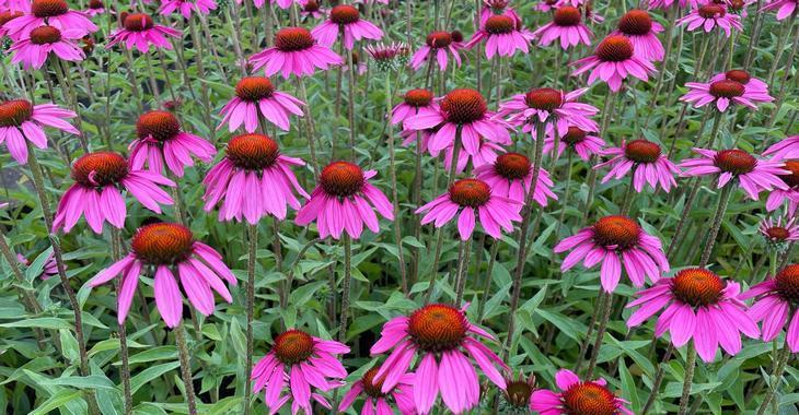 Echinacea tennesseensis 'Amazing Dream' PBR