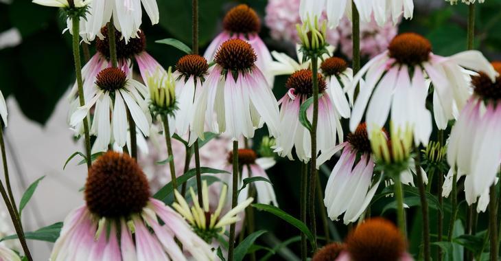 Echinacea PRETTY PARASOLS  'JS Engeltje' PBR
