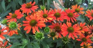 Echinacea SOMBRERO FLAMENCO ORANGE ® (= 'Balsomenc