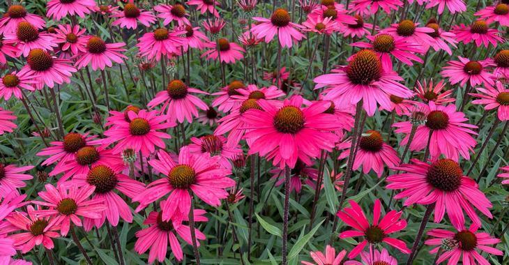 Echinacea tennesseensis 'Glowing Dream' PBR