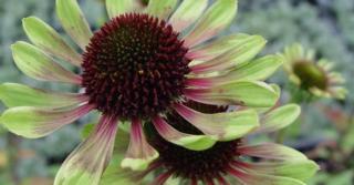 Echinacea purpurea 'Green Envy' PBR