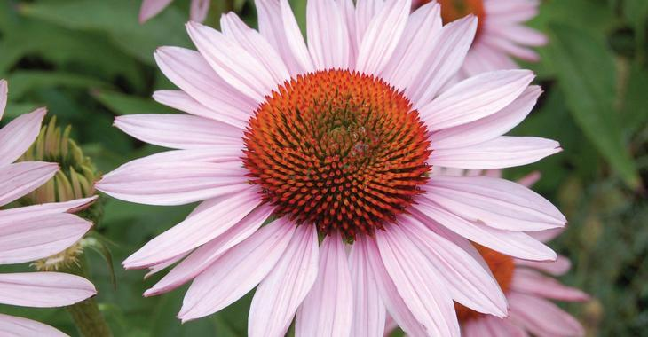 Echinacea purpurea 'Hope' PBR