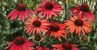 Echinacea purpurea 'Hot Summer' PBR