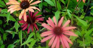 Echinacea purpurea JS® 'Orange Prairie'