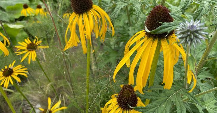 Echinacea paradoxa var. paradoxa