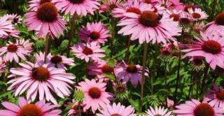 Echinacea purpurea JS® 'Pink Prairie'