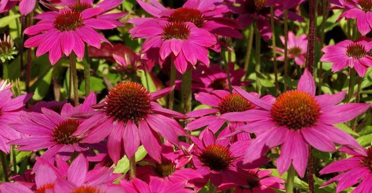 Echinacea purpurea POWWOW WILD BERRY ®