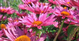 Echinacea purpurea 'JS ROHO' PBR