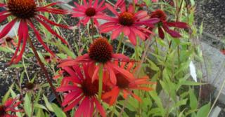 Echinacea purpurea JS® 'Red Prairie'