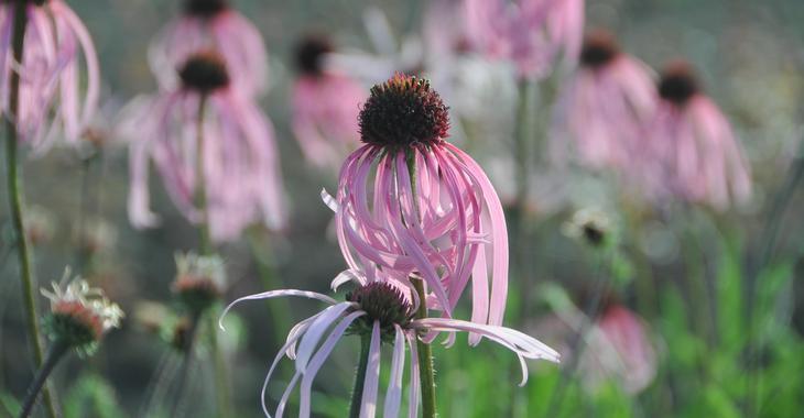 Echinacea pallida JS® 'Satin Lights'