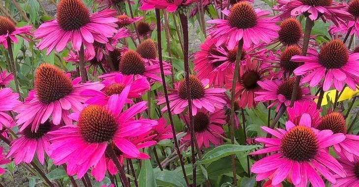 Echinacea purpurea 'JS Stiletto' PBR