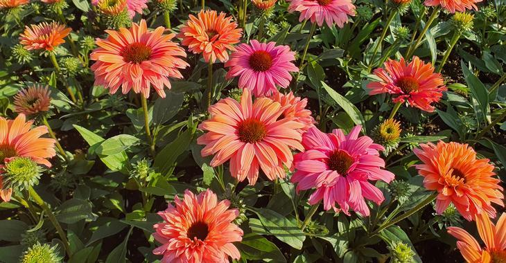 Echinacea SUNSEEKERS RAINBOW ®