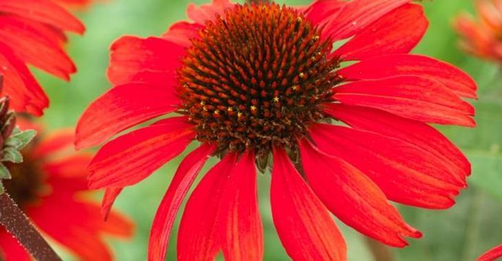 Echinacea SUNSEEKERS RED ® (= 'APECSSIRED' PBR)