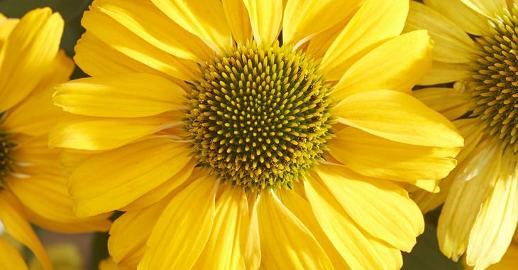 Echinacea SUNSEEKERS YELLOW®