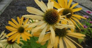 Echinacea purpurea JS® 'Yellow Prairie'